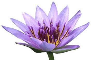 Blauer-Lotus